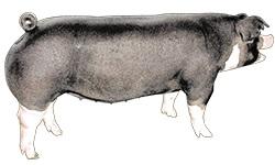 Typical Poland China pig